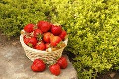 Fresh strawberries Stock Photo
