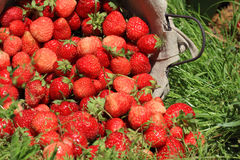 Fresh, strawberries in a basket Stock Image