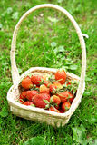Fresh strawberries in a basket on green grass Royalty Free Stock Image