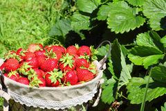 Fresh, strawberries in a basket Royalty Free Stock Photo