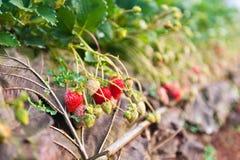 Fresh strawberries farm Stock Photos