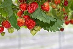Fresh strawberries in the farm. Strawberries hanging in the farm Stock Photography