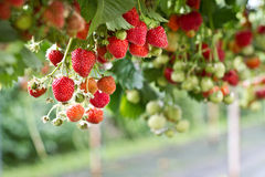 Fresh strawberries in the farm. Strawberries hanging in the farm Stock Photo