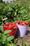 Fresh strawberries from the field Royalty Free Stock Images