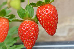 Fresh strawberries that are grown in greenhouses Stock Image