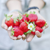 Fresh strawberries on hand Royalty Free Stock Photos