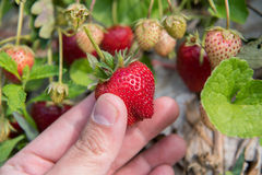 Fresh strawberries handpicked from a strawberry farm Tak ,Thailand. Royalty Free Stock Photos