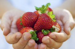 Fresh strawberries in hands. Freshly picked strawberries in hands of a boy. Tasty summer treat; also concepts of sharing, friendship Stock Images