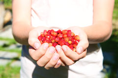 Fresh strawberries in the hands Royalty Free Stock Photography