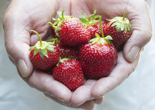 Fresh Strawberries. Hands full of fresh strawberries Stock Photo