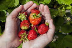 Fresh strawberries in hands. Stock Photo