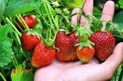Fresh strawberries in her hands. Gardener showing a bunch of fresh strawberries in her hands Stock Image