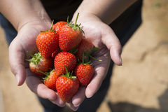Fresh strawberries in human hand.  royalty free stock images