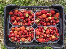 Fresh strawberries just after they have been picked in the fields. Red berries are packed in separate plastic containers, before they are taken to a local market Stock Image