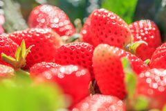 Fresh Strawberries with morning dew in natural backgrounds, look like a jewel. Beautiful bokeh with glittering. Organic farm. Close up. Selective focus stock images