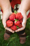 Fresh strawberries in old woman hands Stock Photography
