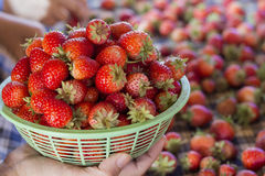 Fresh strawberries. In phetchaboon thailand Stock Images