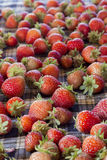 Fresh strawberries. In phetchaboon thailand Royalty Free Stock Image