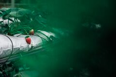 Fresh strawberries on plant stock image