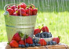 Fresh Strawberries in the Rain. A bucket of fresh strawberries and blueberries in the morning rain get wet with dew Royalty Free Stock Photo
