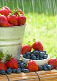 Fresh Strawberries in the Rain. A bucket of fresh strawberries and blueberries in the morning rain get wet with dew Royalty Free Stock Images