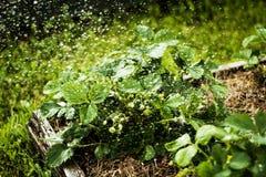 Fresh. Strawberries in the rain Stock Image