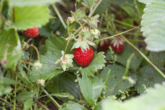 Fresh strawberries, strawberry bush. Selective focus stock images