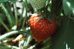 Fresh strawberries were placed on a green background royalty free stock photo