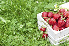 Fresh strawberries in white box. Strawberries with leaf and flowers in white wooden box on a grass with a space for text royalty free stock photos