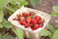 Fresh strawberries in a wicker basket of strawberry bushes. Selective focus royalty free stock photos