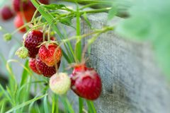 Fresh strawberries on wooden background, close up Royalty Free Stock Photos