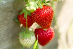 Fresh strawberries on wooden background, close up Royalty Free Stock Images