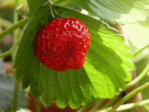 Fresh strawberry. Strawberry plant and fruits, close-up Royalty Free Stock Photography