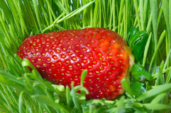 Fresh strawberry. A fresh strawberry in green grass Stock Photo