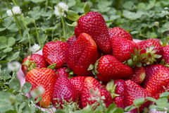 Fresh strawberry. Strawberries on the green background Royalty Free Stock Photos