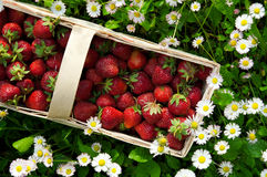 Fresh strawberry in basket Royalty Free Stock Images