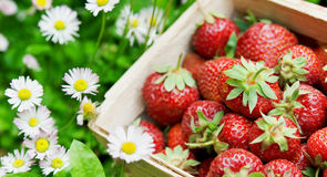 Fresh strawberry in basket Stock Photography
