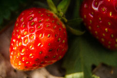 Fresh strawberry berry big delicious sweet taste. Royalty Free Stock Photo