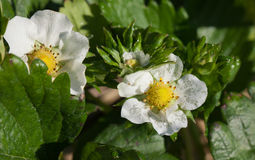 Fresh strawberry blossom in strawberry field Stock Images