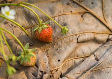 Fresh strawberry bush on dried leave with the morning light Royalty Free Stock Images