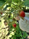 Fresh strawberry in the field in Mae Rim District Stock Images