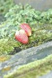Fresh strawberry fruit on green moss Royalty Free Stock Image