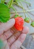 Fresh strawberry Royalty Free Stock Photo