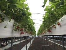 Fresh strawberry Royalty Free Stock Photography