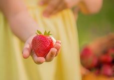Fresh strawberry from garden in kid's hands. Selective focus. Big strawberry in the hand of a child Royalty Free Stock Photo
