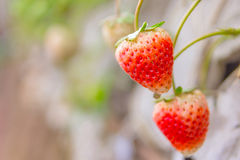 Fresh strawberry with green leaves on seedbed in the plantation Royalty Free Stock Images