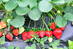 Strawberry fruits and plants Stock Photos