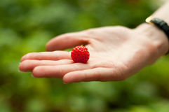 Fresh strawberry in hand Stock Photography