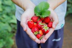Fresh strawberry in hand Stock Photo