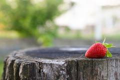 Fresh strawberry lies on oak stump, side view, copy space for the text stock images